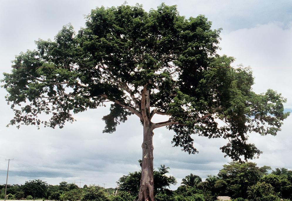 http://www.terungkap.net/2012/02/pohon-pohon-yang-tidak-mungkin-anda.html